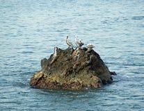 Pelikane auf einem Felsen Stockbilder
