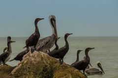 Pelikane auf einem Felsen in dem Meer stockfotografie