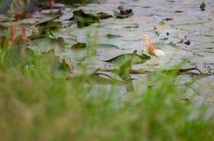 Pelikane auf einem Lotosblatt Stockfotos