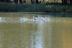 Pelikane auf einem See stockfotos