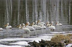 Pelikane auf einem See lizenzfreies stockfoto