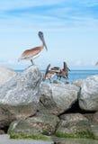 Pelikane auf Felsen Lizenzfreies Stockfoto