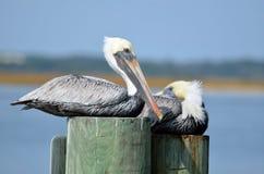 Pelikane auf hölzernen Posten Lizenzfreie Stockfotos