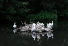 Pelikane auf Insel und ihrer Reflexion Lizenzfreies Stockfoto