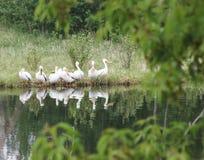 Pelikane auf Küstenlinie Lizenzfreie Stockfotografie