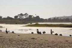 Pelikane auf Malibu-Lagune Stockfotos