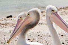 Pelikane auf Phillip-Insel in Victoria, Australien stockfotos