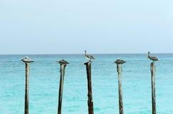 Pelikane auf Polen lizenzfreie stockfotos