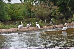 Pelikane auf Sandbank Stockfoto