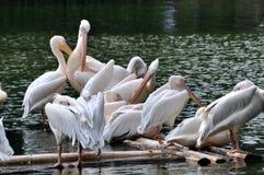 Pelikane auf See Stockfotos