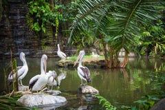 Pelikane auf See Stockfoto
