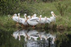 Pelikane auf See mit Gänsen Lizenzfreie Stockfotografie