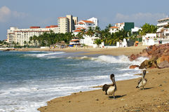 Pelikane auf Strand in Mexiko Stockbilder
