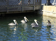 Pelikane bei Key West Lizenzfreie Stockfotografie