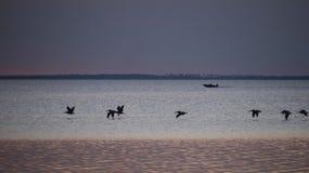 Pelikane berichtigen im Flug nach Bucht Sonnenuntergang-St. Josephs lizenzfreies stockfoto