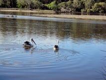 Pelikane in Boambee-Nebenfluss Lizenzfreies Stockfoto