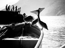 Pelikane an Bord des Bootes Stockfotografie