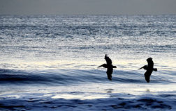 Pelikane, die über die Morgenwellen fliegen Stockfotos