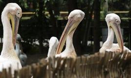Pelikane, die über Zaun schauen Stockfotos