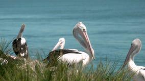Pelikane, die auf einander mittlerer Schuss einwirken stock video footage