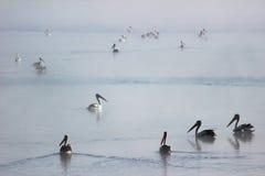 Pelikane, die auf nebelhaftes Wasser schwimmen Lizenzfreie Stockfotografie