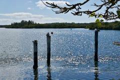 Pelikane, die auf Pfosten in der Mündung stillstehen Lizenzfreies Stockfoto