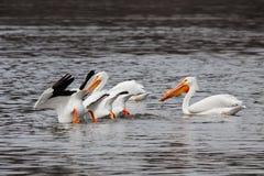 Pelikane, die Füße in der Luft essen Stockbilder