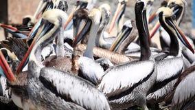 Pelikane, die für Lebensmittel kämpfen stock footage