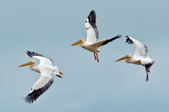 Pelikane, die gegen den blauen Himmel fliegen Lizenzfreies Stockbild