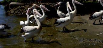 Pelikane, die im seichten Wasser schwimmen stock video footage