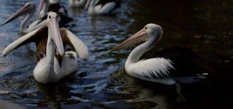 Pelikane, die im Wasser schwimmen stock footage