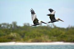 Pelikane, die vorbei fliegen Stockbilder