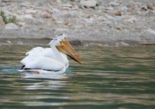 Pelikane, die zusammen hängen Stockbild