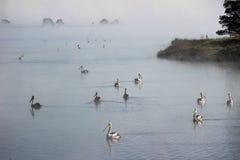 Pelikane, die zwischen nebelhaften Inseln schwimmen Lizenzfreie Stockfotos