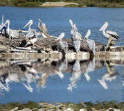 Pelikane in einem Meer Stockfoto