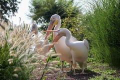 Pelikane in einem Park lizenzfreies stockfoto