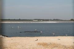 Pelikane in einem See Lizenzfreies Stockfoto