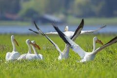 Pelikane fangen an, weg zu fliegen Lizenzfreies Stockbild
