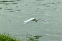 Pelikane fliegen über das Wasser im See stockfoto