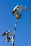 Pelikane gehockt auf einem Laternenpfahl Stockfotografie