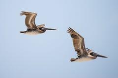 Pelikane im Flug stockfoto
