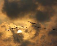 Pelikane im Himmel des späten Nachmittages Lizenzfreies Stockfoto