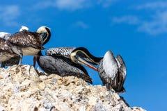 Pelikane im Islas Ballestas, Paracas-Halbinsel, Peru stockfotos
