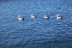 Pelikane im Meer Stockfoto