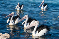Pelikane im Wasser Stockfotografie