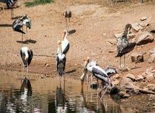Pelikane nehmen ein Sonnenbad Stockbild