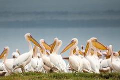 Pelikane am See Lizenzfreies Stockfoto