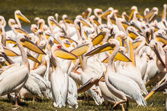 Pelikane am See Stockfoto