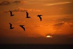 Pelikane am Sonnenuntergang Lizenzfreies Stockfoto