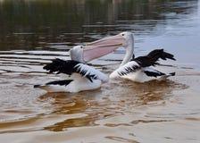 Pelikane am Spiel in Moore River Lizenzfreie Stockfotos
